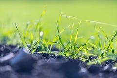 Frische, grüne und fruchtbare Landwirtschaftsanlagen, Gras lizenzfreie stockfotografie