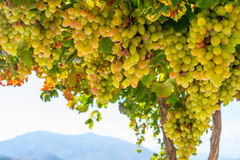 Frische grüne und gelbe Trauben in einem Busch Stockbild