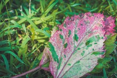 Frische grüne und rosa Blätter mit Hintergrund des grünen Grases Lizenzfreie Stockfotos