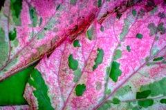 Frische grüne und rosa Blätter mit Hintergrund des grünen Grases Stockfotos