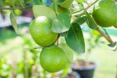 Frische grüne Zitrone auf Baum lizenzfreie stockfotos