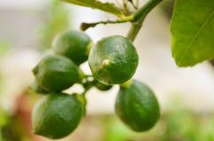 Frische grüne Zitronen auf Baum Stockfoto