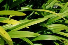 Frische Grünhauptsächlichblätter Stockfotos