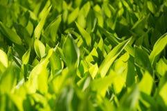 Frische Grasnahaufnahme Lizenzfreie Stockfotografie