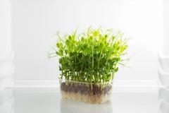 Frische grüne rohe Sprösslinge im Kühlschrank Lizenzfreie Stockfotografie