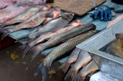 Frische große Fische Lizenzfreies Stockfoto