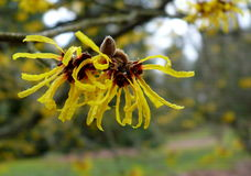 Frische Hexehaselnuß Blume Lizenzfreies Stockfoto