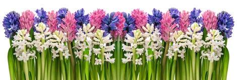 Frische Hyazinthenblumen Rosa, blau, weiß Abbildung kann für verschiedene Zwecke benutzt werden Stockfoto