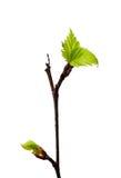 Frische Jungeblätter auf dem Zweig Stockbilder