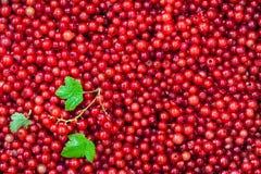 Frische köstliche organische rote Johannisbeere als Hintergrund Stockbilder