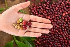 Frische Kaffeebohne in der Hand auf rotem Beerenkaffee Stockbild