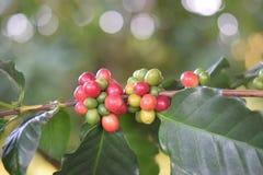 Frische Kaffeebohnen auf Baum Lizenzfreie Stockfotos