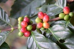 Frische Kaffeebohnen auf Niederlassung Lizenzfreie Stockfotografie
