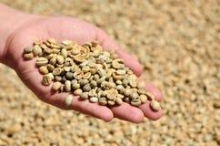 Frische Kaffeebohnen in den Händen Lizenzfreies Stockbild