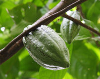 Frische Kakaobohne auf einem Zweig Stockfotos