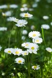 Frische Kamillenblumen stockfotografie