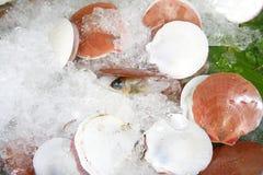 Frische Kamm-Muschel Stockbilder