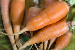 Frische Karotten Stockfoto