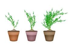 Frische Karotten-Bäume in den keramischen Blumen-Töpfen Lizenzfreie Stockfotos