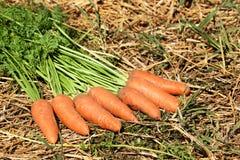 Frische Karotten für Ernte Stockfotografie