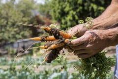 Frische Karotten frisch Lizenzfreie Stockbilder