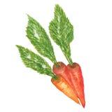 Frische Karotten getrennt Stockbilder