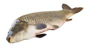 Frische Karpfenfischnahaufnahme Stockfoto