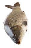 Frische Karpfenfischnahaufnahme Stockfotografie