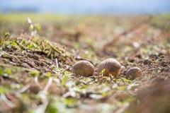 Frische Kartoffeln auf einem Kartoffelbauernhof Ernte, organische vegetarische Nahrung stockfotografie