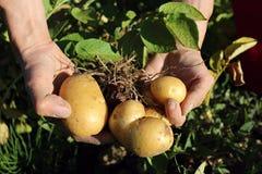 Frische Kartoffeln gruben heraus das Feld Stockfoto
