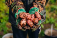 Frische Kartoffeln im farmer& x27; s-Hände Soilwork-Konzept Lizenzfreie Stockbilder