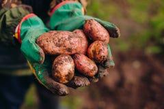 Frische Kartoffeln im farmer& x27; s-Hände Soilwork-Konzept Stockbild