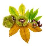 Frische Kastanien auf den Blättern, getrennt lizenzfreie stockfotografie