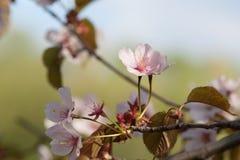 Frische Kirschblüte-Blumen der rosa Farbe auf einem japanischen Kirschbaum Stockfoto
