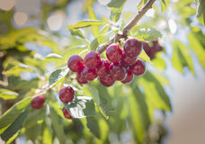 Frische Kirsche vom Obstgarten Stockbild