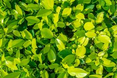 Frische kleine grüne Blätter mit Sonnenlicht für Hintergrund stockfoto