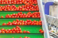 Frische kleine Tomaten auf einem grünen Förderband in einem niederländischen greenho stockfotografie