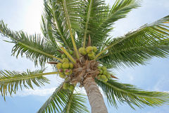 Frische Kokosnüsse Stockfoto
