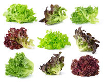 Frische Kopfsalatblätter Stockfotos