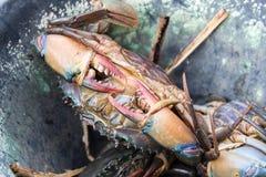 Frische Krabbe im Eimer Lizenzfreies Stockfoto