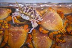 Frische Krabben am Meeresfrüchtemarkt in Hong Kong Lizenzfreies Stockbild