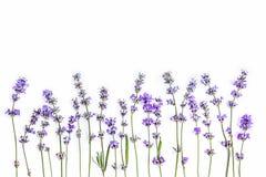Frische Lavendelblumen auf einem weißen Hintergrund Lavendelblumen verspotten oben Kopieren Sie Platz Lizenzfreies Stockbild