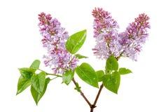 Frische lila Blüte Stockfoto