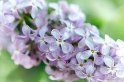 Frische lila Blumen mit unscharfem backgroud Lizenzfreie Stockbilder