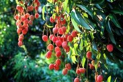 Frische Litschi (Lichi) im Obstgarten von Nord-Thailand Stockfotos
