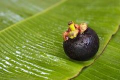 Frische Mangostanfrucht auf Bananenblatt Stockfoto