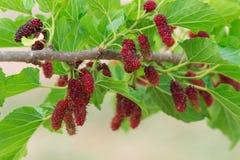 Frische Maulbeere auf Baum lizenzfreies stockbild