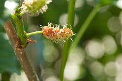Frische Maulbeere auf Baum Beerenobst in der Natur, Frucht in Thailand Lizenzfreie Stockbilder