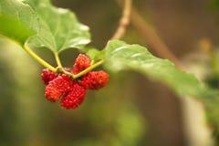Frische Maulbeerfrucht und grünes Blatt im Garten mit unscharfem Hintergrund lizenzfreies stockfoto