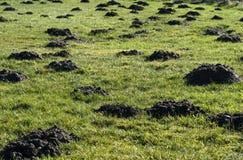 Frische Maulwurfshügel auf meinem Rasen Stockfotografie